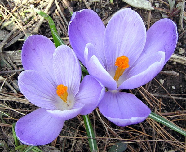 квітка шафрану