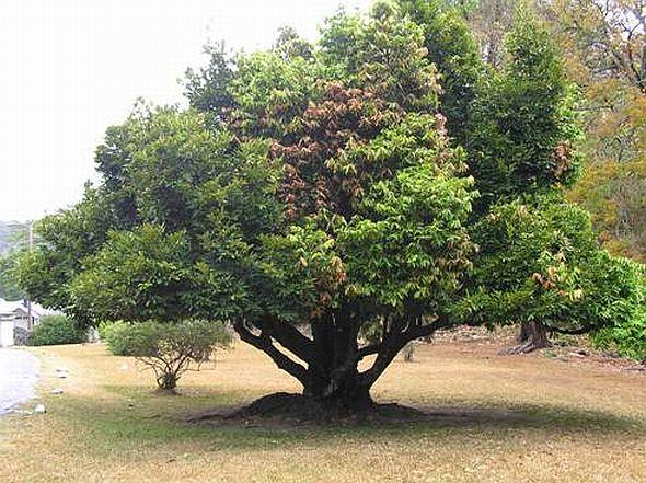 Ебенове дерево